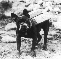A small brindle French Bulldog acting as a messenger dog during World War I.