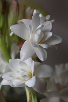 Houseplants for Better Sleep The Tuberose Polianthes Tuberosa Is A Perennial Plant Related To The Agaves, Extracts Of Which Are Used As A Middle Note In Perfumery. The Tuberose Is A Night-Blooming Plant, With Fragrant Waxy White Flowers, And Is Thought To Exotic Flowers, Amazing Flowers, My Flower, White Flowers, Beautiful Flowers, Flower Ideas, Beautiful Pictures, Gardenias, Moon Garden