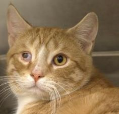 CLOUD NINE is an adoptable Domestic Short Hair Cat in Boston, MA.  ...