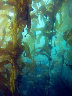 kelp forest, Channel Islands, U. Kelp Forest, Leagues Under The Sea, Forest Wallpaper, This Is A Book, Merfolk, Pokemon, Underwater Photography, Ocean Life, Deep Sea