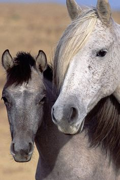 Gray foal & a flea-bitten gray mare.