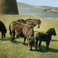 25 years ago we were exploring those wee rascals short in leg, but not in spirit #tbt #countrylifearchive #shetlandpony #poniesofinstagram #nativepony #shelties #cute #fluffies #25yearsago #throwback #throwbackthursday #countrylifemagazine #vintagemagazines #beautifulbritain