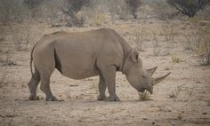Rhinoceros at his daily dinner in Namibia.