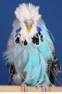 feather duster parakeet - Google Search
