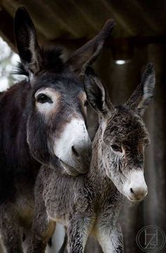 """Mom Donkey With Her Foal:  """"Son, I do believe those people out there, are smiling at YOU!"""""""
