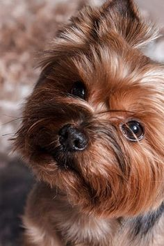 Yorkshire Terrier Yorkshireterrierpups Yorkshire Terrier