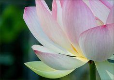 Lotusblume - Jahreszeiten - Galerie - Community