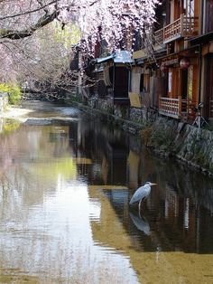 Gion, Kyoto.    A heron poses in the canal along Shirakawa Minami dori.