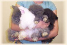 bunnies | English Angora Baby Bunnies & Expected New Arrivals