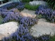 Image result for chocolate chip ajuga