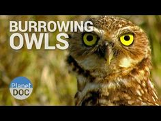 Burrowing Owls | Wild Animals - Planet Doc Full Documentaries  - YouTube  Desert amimals