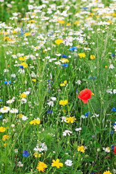 Kukkaniitty heinärehua kasvaneesta savipellosta? | Viherpiha