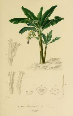 img/dessins couleur fleurs/dessin botanique de fleur 0107 bananier de la chine - musa chinensis.jpg
