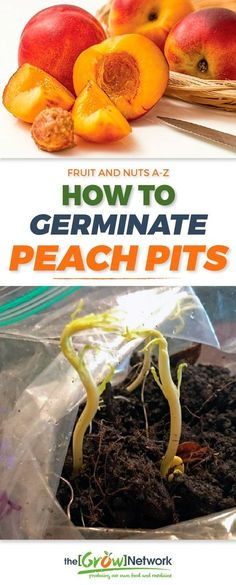 Save money by growing your own peach trees from seeds. It's amazingly easy to germinate peach pits! | Gardening, Urban gardening, Sustainable living, Permaculture, Homesteading, Compost, Beekeeping, Natural health, Survival, Off-grid, Prepping #growyourowngroceries #homegrownfoodoneverytable