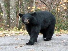 Big Black Bear in the Smoky Mountains. #SmokyMountains #NationalPark #Tennessee…
