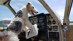 (◔◡◔)  Muddy thinks he is going to fly the plane. Bright views in life with a Wire Fox Terrier! ♥..♥