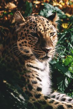 captvinvanity:   Garret Voight|Amur Leopard - Ander