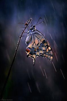 Bajo la lluvia ~ mariposa del verano~~Under the summer rain ~ butterfly