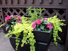 Coleus / Golilocks-Creeping Jenny / New Guinea Impatiens looks wonderful against the black planter