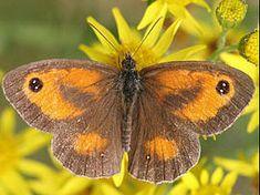Soorten vlinders in de tuin met foto en beschrijving vlinder planten kiezen / Oranje zandoogje