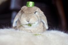 Holland lop, bunny, rabbit, st. Patricks day