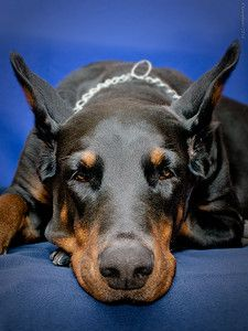 The Doberman Pinscher is among the most popular breed of dogs in the world. Known for its intelligence and loyalty, the Pinscher is both a police- favorite Doberman Love, Dog Pin, Hyena, Doberman Pinscher, Beautiful Babies, Funny Dogs, Animals And Pets, Dachshund, Puppy Love