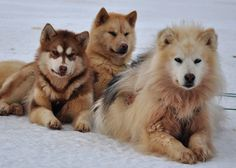 A Greenlandic Dog?  What are they?