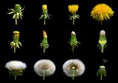 Loewenzahn Taraxacum officinale – Common Dandelion – Wh … – World of Flowers Dandelion Clock, Dandelion Wish, Dandelion Flower, Taraxacum Officinale, Dandelion Recipes, Diy Projects For Beginners, Class Projects, Spring Activities, Arte Floral