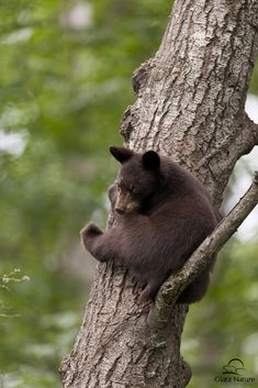 """Black Bear cub in his safe place.  Mother Black Bears """"tree"""" their cubs to make sure they stay out of harm's way.  Mom and cub had been eating berries when a huge male black bear decided to take their spot.  Mom ran away, but the cub """"treed"""" himself by climbing up a tree and staying put on one of the higher branches until the male black bear left the area.  Vince Schute Wildlife Refuge, Orr, Minnesota."""
