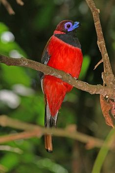 DIARD'S TROGON - Harpactes diardii . . . Thailand, Brunei, Malaysia, Singapore, Indonesia . . . Photo: David Bakewell