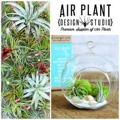 Shop a large selection of premium air plants and terrariums from Air Plant Design Studio