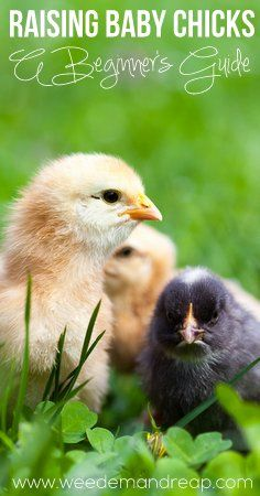 Great article about raising baby chicks!