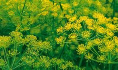 dill (Anethum graveolens var. hortorum), inflorescences from Alys Fowler Useful Flowers