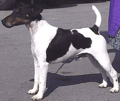 Smooth fox terrier Just like my Maggie (before she lost half her tail),  Sweet dogs,  stands at attention alot!