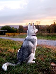 Siberian husky is sitting pretty! #husky #siberian husky