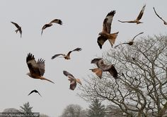 A flock of Red Kites