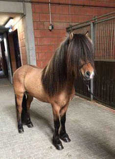 Icelandic horse with huge bushy mane.