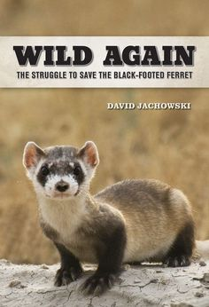 Wild Again: The Struggle To Save The Black-Footed Ferret by author David Jachowski. May 2014.  Enter for a chance to win a signed copy. http://www.smallanimalchannel.com/ferrets-magazine/product-spotlight/wild-again-book-1405.aspx?utm_source=SilverpopMailing&utm_medium=email&utm_campaign=Ferrets%202014-05-13%20(1)&
