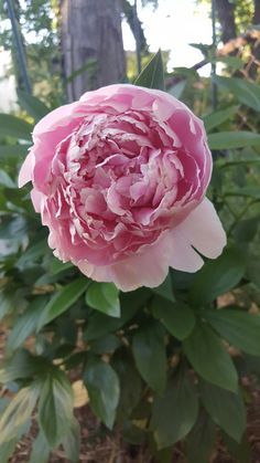 After 3 years my peonies finally blooomed :)