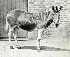 Quagga  Semelhante a uma zebra, se distinguia pelas listras só numa parte do corpo. Habitava a África do Sul e desapareceu, por conta da caça. A última foto de uma quagga selvagem foi tirada em 1870 e, em 1883, morreu a última mantida em cativeiro.