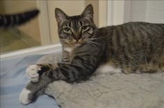 Meet Cressida, an adoptable Domestic Short Hair looking for a forever home. Available at Valley Animal Center, Fresno,CA.