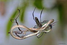 Spider(s) eating Snake !