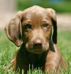 Chocolate labmaraner. The puppy of my dreams.