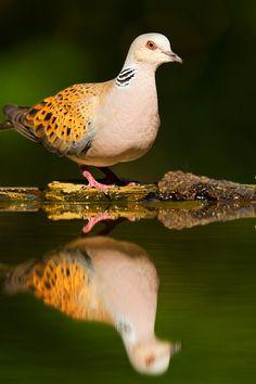 European turtle dove(Streptopelia turtur)