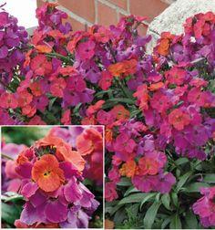 Jacques Briant vous popose son GIROFLEE VIVACE WINTER™, ses fleurs, vivaces, rosiers, arbres, arbustes, potager, pour jardins et terrasses réussis !