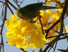 Ave & seu delicioso ipê amarelo (fam. Bignoniaceae)