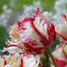 Eine aufregende Tulpe für den Garten: Tulipa Flaming Parrot. Die Blumenzwiebeln im Herbst pflanzen, online erhältlich bei www.fluwel.de