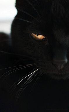 Noir cat golden eye