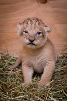 Neka, a 6-year-old African lion at the Oregon Zoo, gave birth to three healthy…
