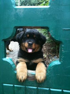 long haired rottweiler puppy